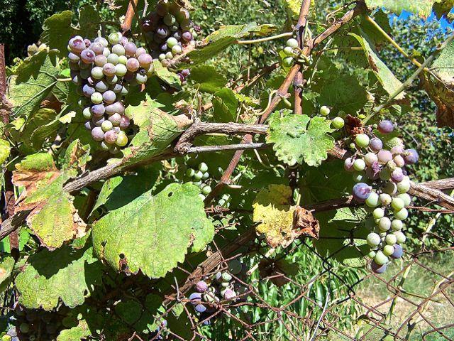 De druiven zijn bijna rijp